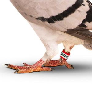 Naklejki na obrączki dla gołębi